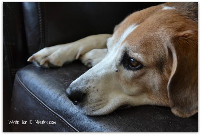 beagle-995637_1920 (2)