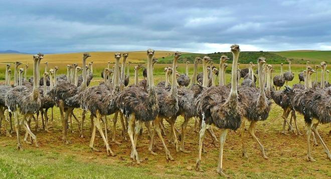 ostriches-838976_1920 (2)